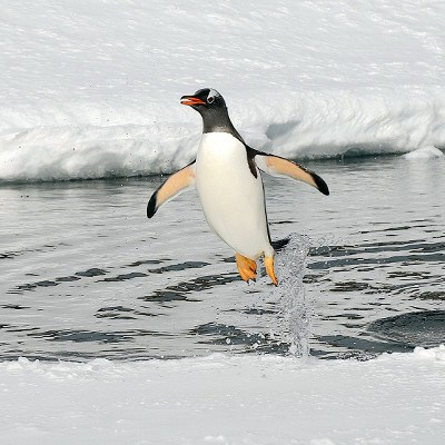 penguin jumping out of water at Port Lockroy Antarctica