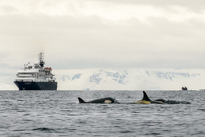 Orca whales in Antarctica Peninsula