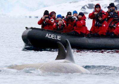 Zodiac Whale Encounter Antarctica