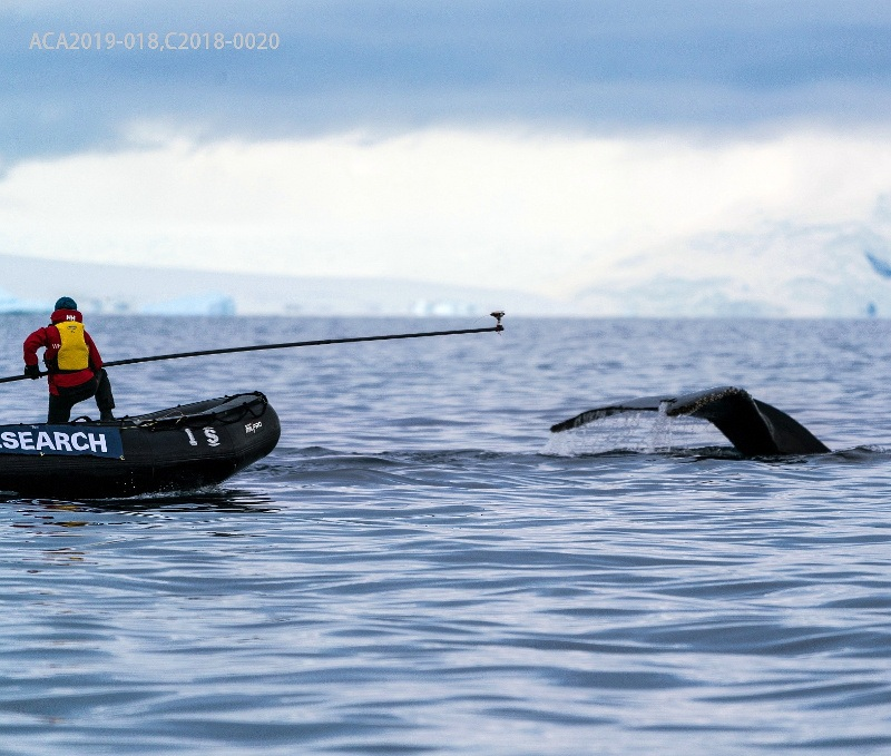 Scientists tagging whales in Antarctica