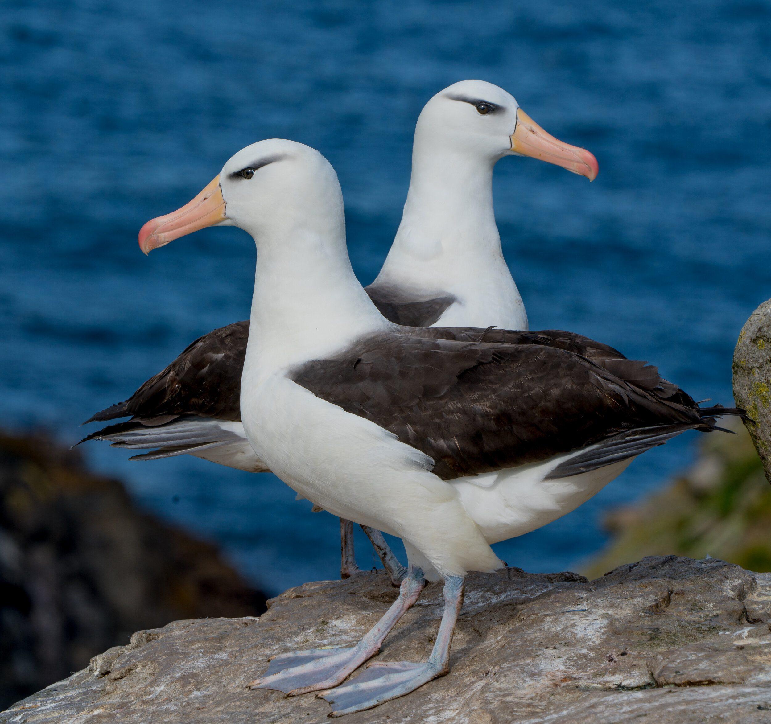 The Black-Browed Albatross