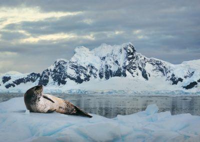 Leopard Seal Ice Floe Polar Latitudes